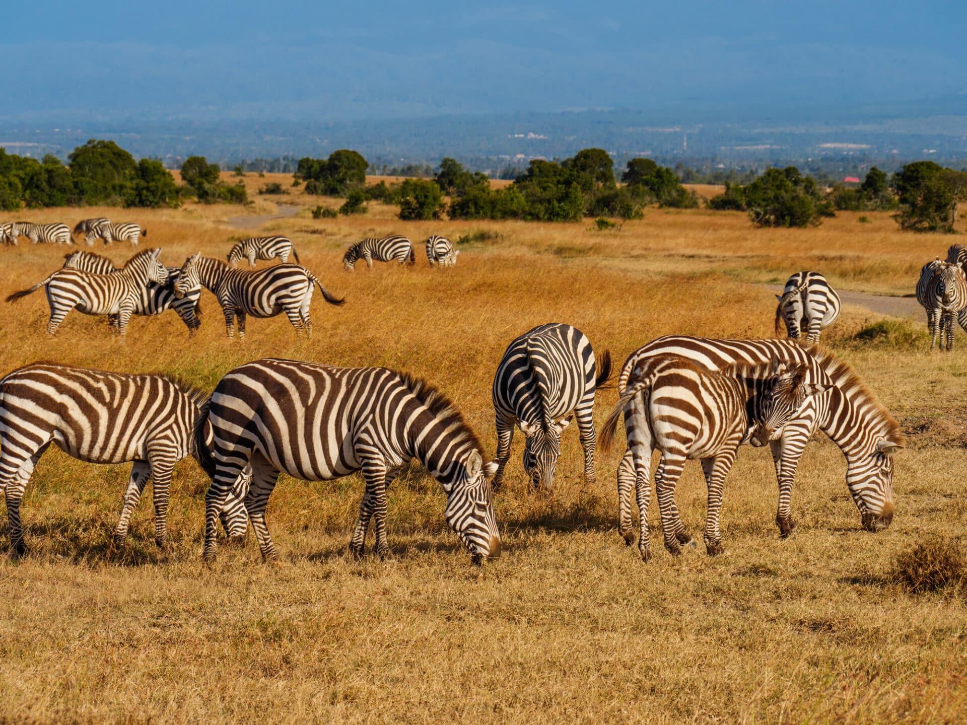 Grevys Zebra Equus Grevyi Marwell Zoo 4