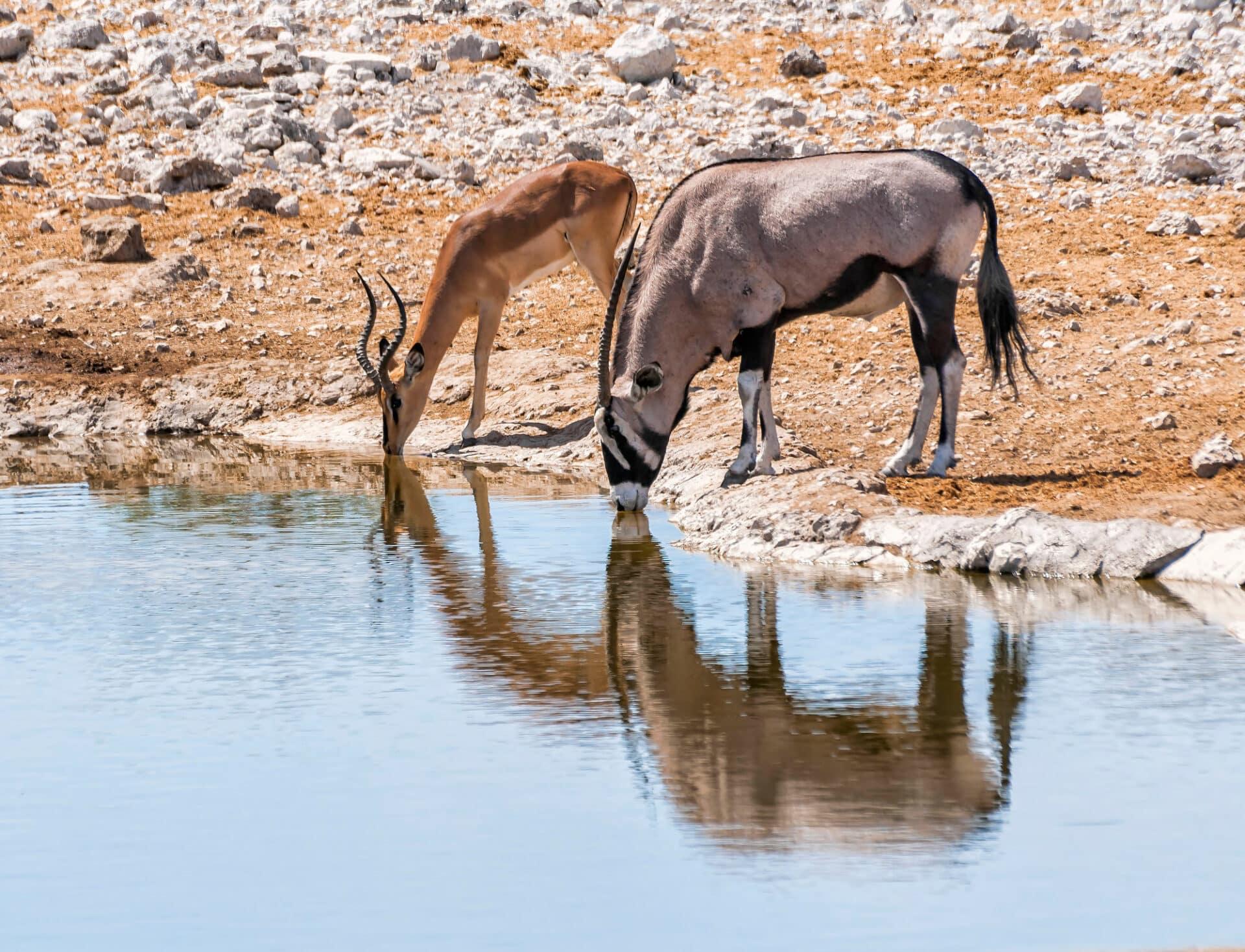 Gemsbok and Springbok